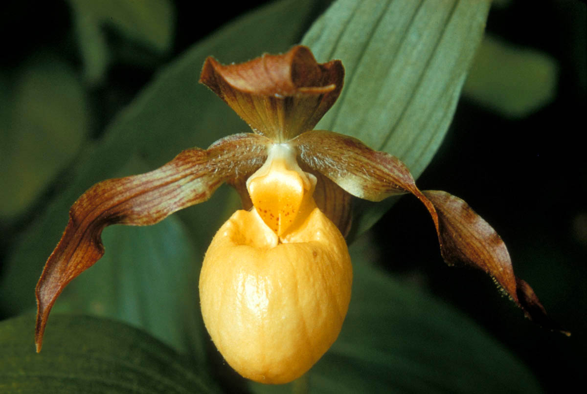 Cypripedium flower